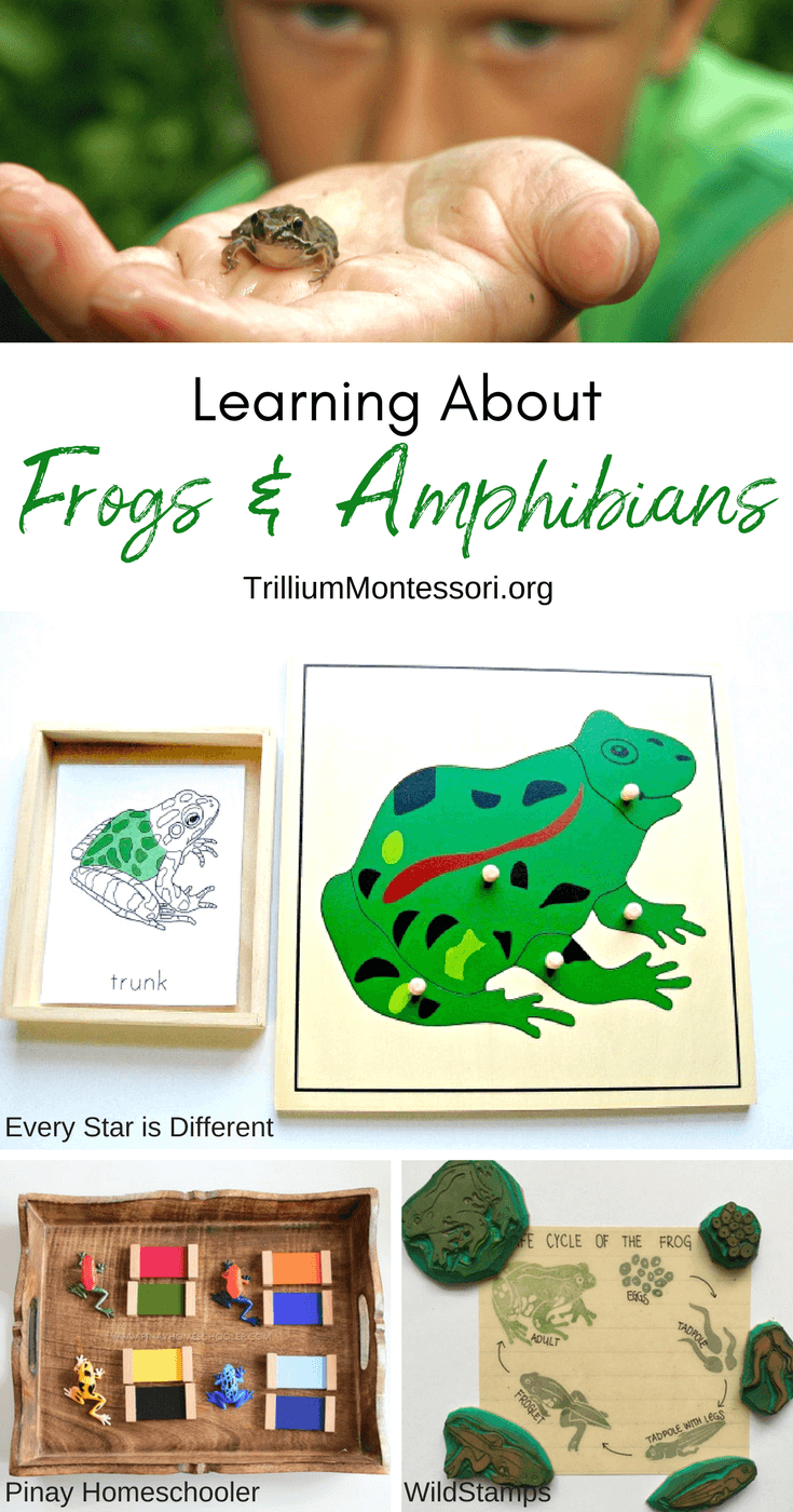 Montessori Resources For Learning About Frogs And Amphibians - Printable Frog Puzzle