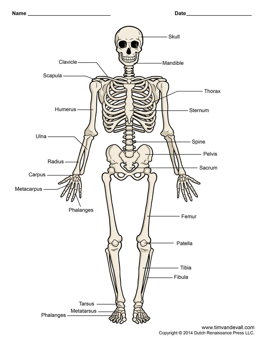 Printable Human Skeleton Diagram - Labeled, Unlabeled, And Blank - Printable Skeleton Puzzle