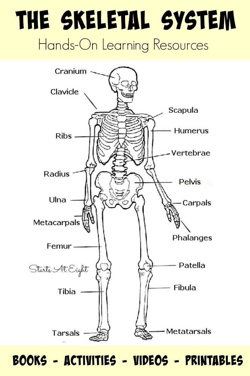 picture relating to Skeleton Printable referred to as The Skeletal Approach: Arms-Upon Studying Products Human