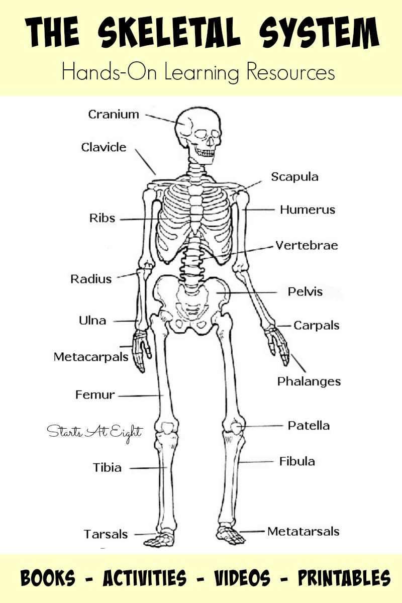 The Skeletal System: Hands-On Learning Resources - Startsateight - Printable Skeletal System Crossword Puzzle