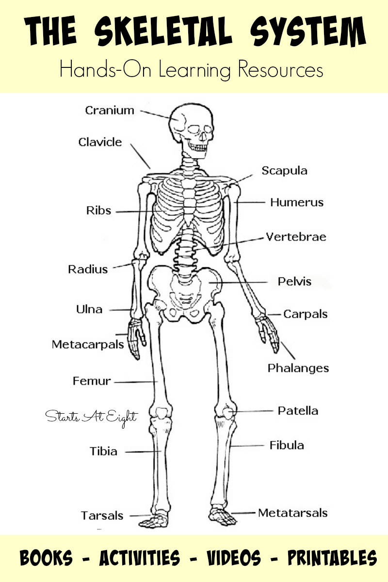 The Skeletal System: Hands-On Learning Resources - Startsateight - Skeletal System Crossword Puzzle Printables