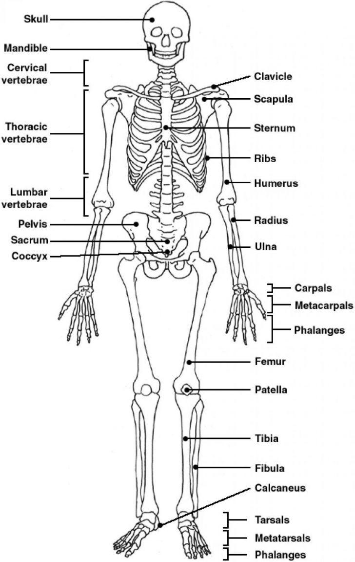The Skeletal System Worksheet Answers - Siteraven - Skeletal System Crossword Puzzle Printables